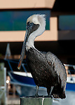 A pelican rests atop a piling in a marina at Tarpon Springs, Florida, USA.