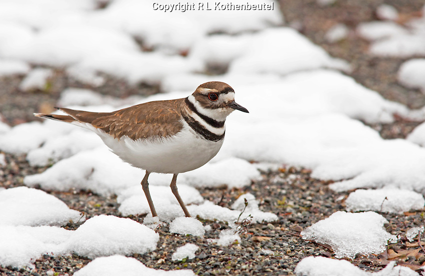 Killdeer  after a late spring snow<br />