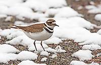 Killdeer  after a late spring snow<br /> Woodinville, Washington<br /> 3/30/2008