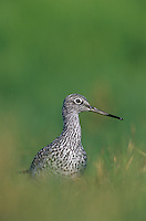 Greater Yellowlegs, Tringa melanoleuca, adult, Willacy County, Rio Grande Valley, Texas, USA