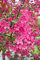 Malus crabapple fruit tree flowering in May . Crab apple