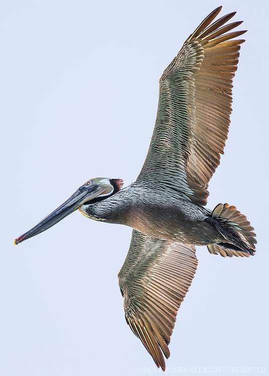 Taken from a short trip on our boat out of Santa Cruz Harbor.  The Brown Pelican was once on its way to extinction because of exposure to the pesticide DDT.