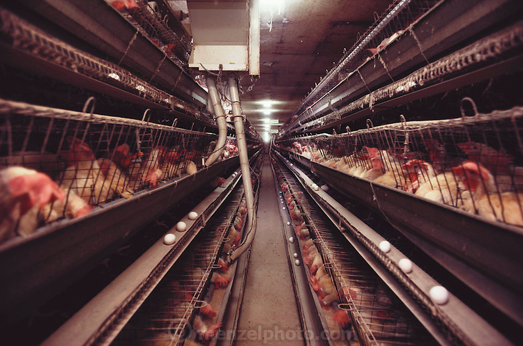 Belden Egg Ranch. Central Valley, California. 500-foot row of laying hens. Automatic feeders travel the rows and back every 30 minutes. USA.