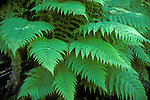 Lady Fern (Athyrium filix-femina), Sierra Nevada Range, California, USA
