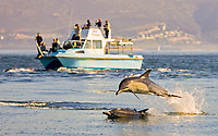 long beaked common dolphins, Delphinus capensis (formerly lumped with Delphinus delphis) leaping in front of tour boat, South Africa