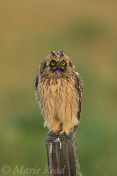 Short-eared Owl (Asio flammeus) juvenile female calling while perched on fencepost, Benton Lake National Wildlife Refuge, Montana, USA