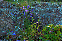 Harebells (Campanula rotundifolia) blossoms growing on Kendall Inlet Road<br />