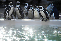 African penguins. <br /> Nine pairs of African Penguins, also known as the jackass penguin and black-footed penguin, were welcomed by Rome's biopark. <br /> Roma 27-12-2018 Bioparco <br /> Foto Andrea Staccioli / Insidefoto