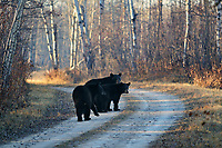 Black bear sow walking aling road with 2 year old cubs
