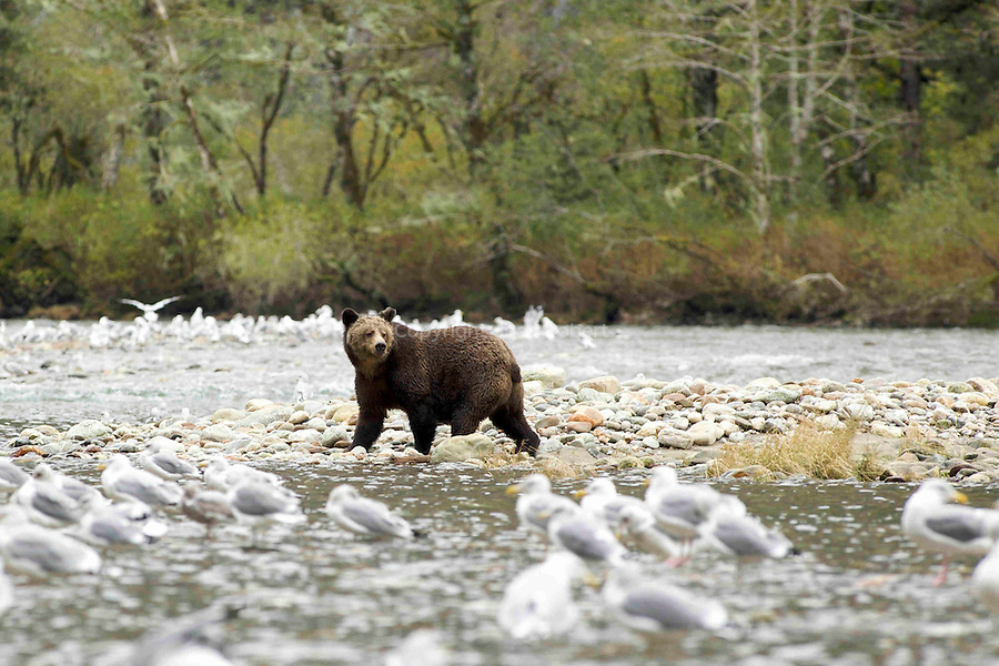 Grizzly en train de pecher des saumons dans lestuaire  de Mussel Inlet au coeur de la foret pluviale de la cote ouest de Colombie Britannique Spirit bear. American Black Bear  catching salmons in Mussel Inlet estuary in the heart of the British columbia rain forest.