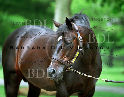 Gone West at Mill Ridge Farm, in May 2004.  Gone West won the G1 Dwyer, and G2 Gotham and Withers.  As a sire, he excelled, at Mill Ridge Farm in Kentucky.  <br />