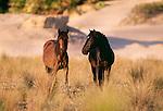 Wild horses, Cumberland Island, Georgia