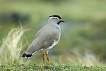 Spot Breasted Lapwing (Plover), Vanellus melanocephalus, Simien Mountains National Park, Ethiopia, Endemic to Ethiopian Highlands, .Africa....