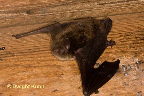 MA20-610z  Little Brown Bats, Myotis lucifugus