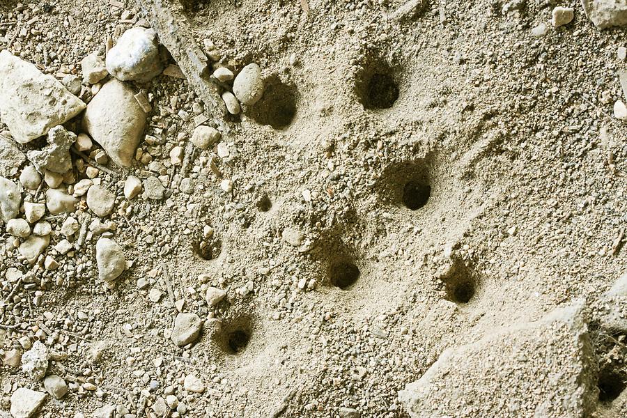 Wurmlöwe, Larve, Larven bauen trichterförmige Fallgruben in den Sand, Trichter, Sandtrichter, Vermileo vermileo, vermileonid, wormlions, wormlion, Wurmlöwen, Vermileonidae, vermileonids