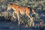 A wild colt prances in the evening light at the Sand Wash Basin Wild Horse Management BLM area in northwest Colorado