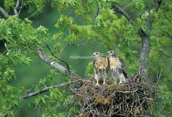 Red-tailed Hawk Nestlings watching a parent fly by; Indiana