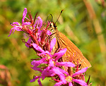 Moth seen on a blossom in the wetlands area in the Esopus Bend Nature Preserve, in Saugerties, NY, on Thursday, September 7, 2017. Photo by Jim Peppler. Copyright/Jim Peppler-2017.