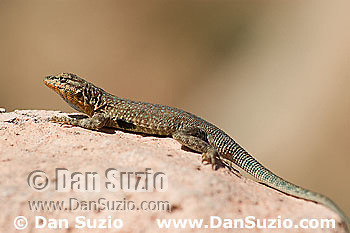 Male side-blotched lizard, Uta stansburiana, Canyonlands National Park, Utah
