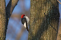 Red-headed Woodpecker (Melanerpes erythrocephalus).  Great Lakes Region.