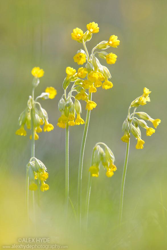 Cowslips {Primula veris}, Peak District National Park, Derbyshire, UK. April.