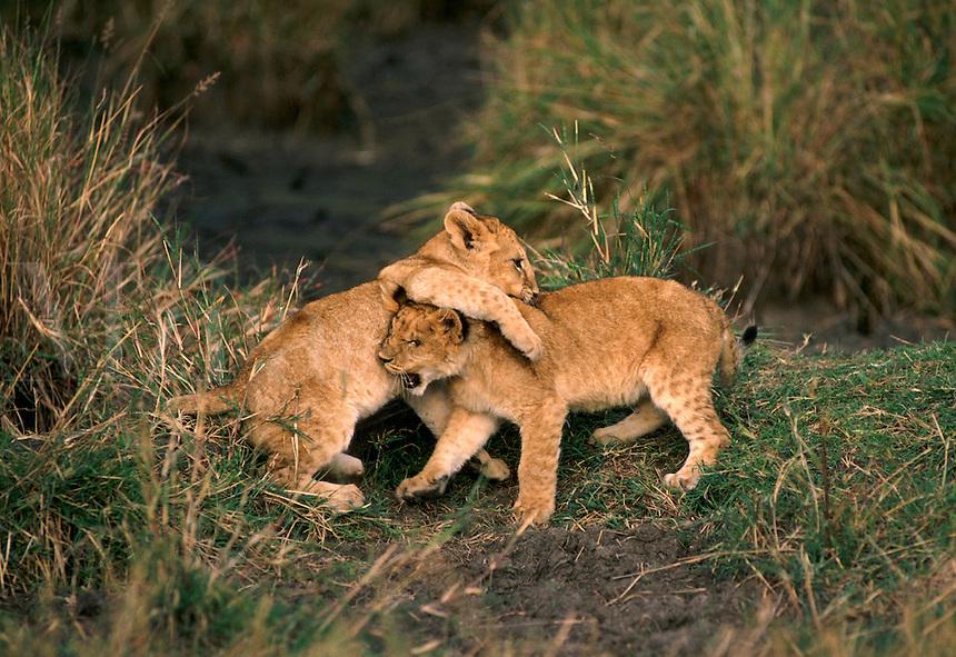 African, wild animal. Lion cubs play together on the Masai Mara in Kenya, East Africa. Masai Mara, Kenya.