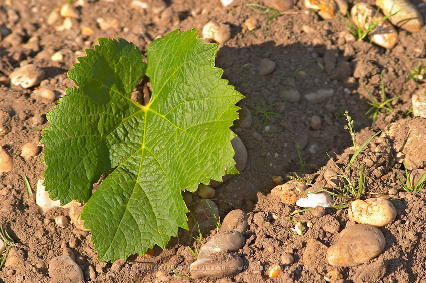 A Merlot leaf - the leaf is round and has not so deep separation between the lobes. The surface is waffely (textured) - Chateau Belgrave, Haut-Medoc, Grand Crus Classe 1855