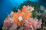 Misool, Raja Ampat, Indonesia; Wayilbatan area, a coral bommie covered with green black sun corals, pink and orange soft corals and a purple barrel sponge