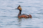 USA, California, Monterey, Elkhorn Slough, eared or black-necked grebe (Podiceps nigricollis californicus)
