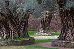 Five hundred year old olive trees (Olea europaea), Tzintzuntz&aacute;n, Michoac&aacute;n, Mexico<br /> Thirty-three olive trees were planted to represent Jesus Christ&rsquo;s age at the monastery of San Francisco. <br /> <br /> Canon EOS-1D Mark IV, EF24-105mm f/4L IS USM lens, f/10 for 1/200 second, ISO 500