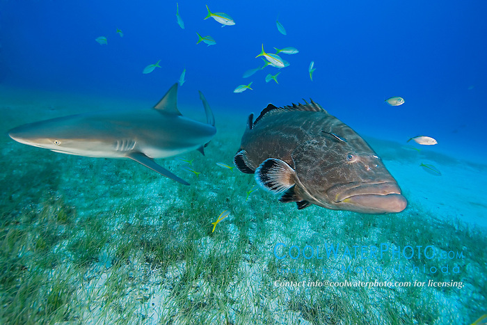 Black Grouper, Mycteroperca bonaci, and Caribbean Reef Shark, Carcharhinus perezi, West End, Grand Bahamas, Atlantic Ocean