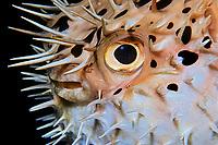 balloonfish, Diodon holocanthus, Towanda (City of Washington) wreck, Key Largo, Florida Keys National Marine Sanctuary, Florida, Atlantic Ocean