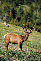 Bull elk standing. Colorado USA Trail Ridge, Rocky Mountain National Park.