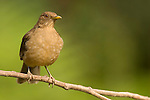 Clay-colored Robin (Turdus grayi), Costa Rica's National Bird