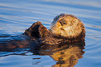 USA, California, Moss Landing, Sea otter (Enhydra lutris nereis), sleeping