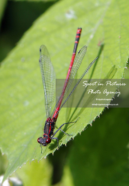 A Large Red Damselfly, Pyrrhosoma nymphula, rests on a leaf
