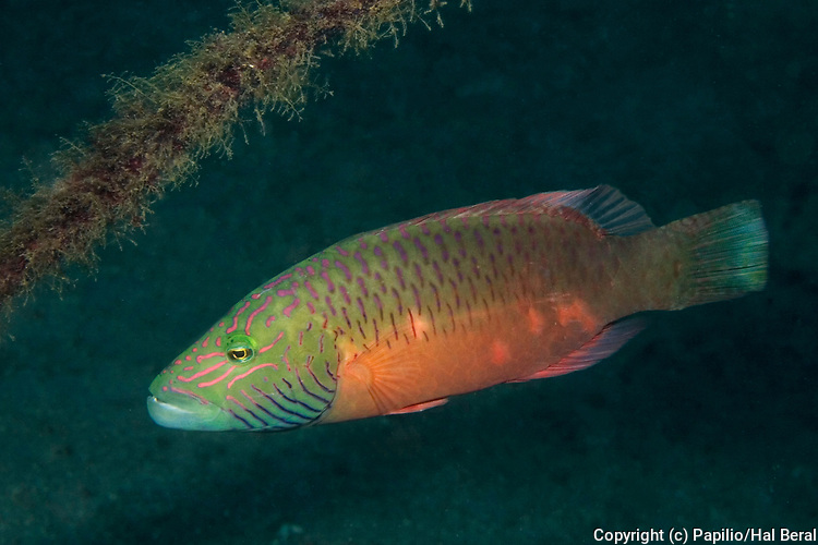 Line-Cheeked Wrasse.(Oxycheilinus digrammus).Lembeh Straits, Indonesia