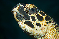 Hawksbill turtle, Eretmochelys imbricata, Frederiksted Pier, St. Croix