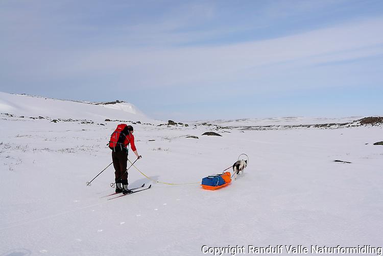 Dame går på ski og grønlandshund trekker pulk på Laksefjordvidda/Ifjordfjellet. ---- Woman skiing and dog pulling sled.
