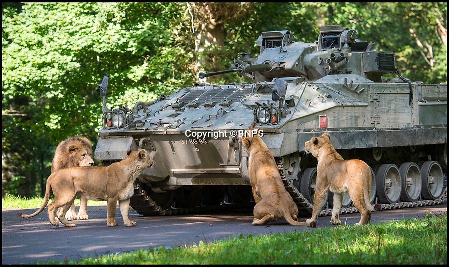 BNPS.co.uk (01202 558833)<br /> Pic: PhilYeomans/BNPS<br /> <br /> Top Cats - Longleat's famous lions were not going to be intimidated either...<br /> <br /> Longleat's infamous troop of mischievous monkeys, along with the parks other wiley inhabitants, have been wreaking havoc on unsuspecting motorists for decades.<br /> <br /> But even they were a little overwhelmed when they came face to face with the might of the British Army this week.<br /> <br /> Soldiers from the 1st Battalion The Yorkshire Regiment, based in nearby Warminster, took one of their Warrior armoured vehicles through some of the Wiltshire safari park's most notorious enclosures.<br /> <br /> And despite the animals obvious interest the 27.5 tonne, six-metre-long caterpillar tracked vehicle eventually emerged without a scratch.<br /> <br /> The Army were visiting the park ahead of a new military spectacular event which is taking place on the estate later this month.