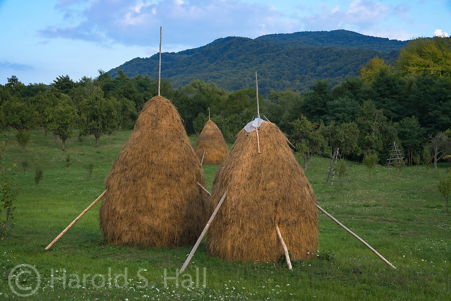 Hay stacks are drying in the fields.  The next step is to haul these stacks to the barn to feed the livestock through the winter.