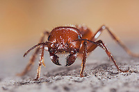 Red Harvester Ant, Pogonomyrmex barbatus, adult close up, Uvalde County, Hill Country, Texas, USA, April 2006