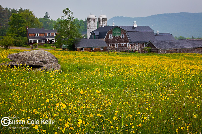 Buttercups carpet the field at a farm in Sugar Hill, NH, USA