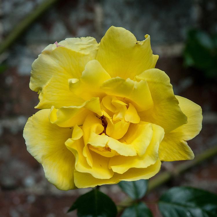 Rosa 'Golden Showers', mid June.