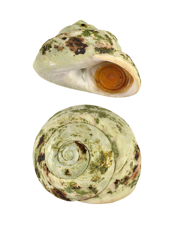 Turban Top Shell - Gibbula magus Height to 30mm<br />