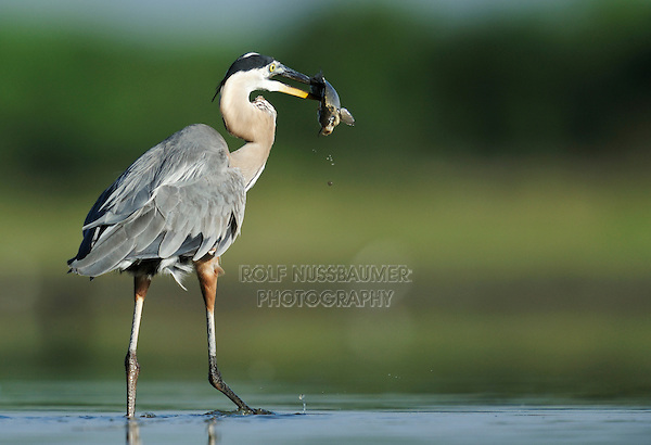 Great Blue Heron (Ardea herodias), adult with fish prey, Dinero, Lake Corpus Christi, South Texas, USA