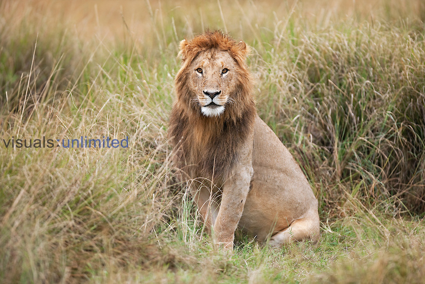 African Lion male sitting alert (Panthera leo), Masai Mara, Kenya.