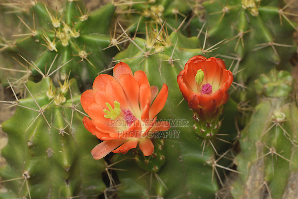 Claret Cup Cactus (Echinocereus triglochidiatus), bloom opening, series, Hill Country, Texas, USA