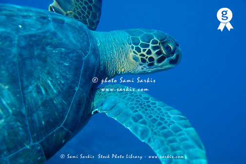 Giant turtle (Chelonia mydas), close-up, underwater view (Licence this image exclusively with Getty: http://www.gettyimages.com/detail/200482594-001 )