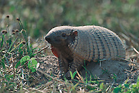 Big Hairy Armadillo (Chaetophractus villosus), adult, Pantanal, Brazil, South America